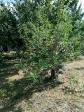 Яблуневий сад у селі Пашківка (2019 рік)